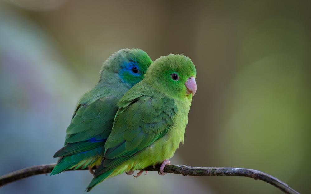 Forpus conspicillatus male & female ave por dia_