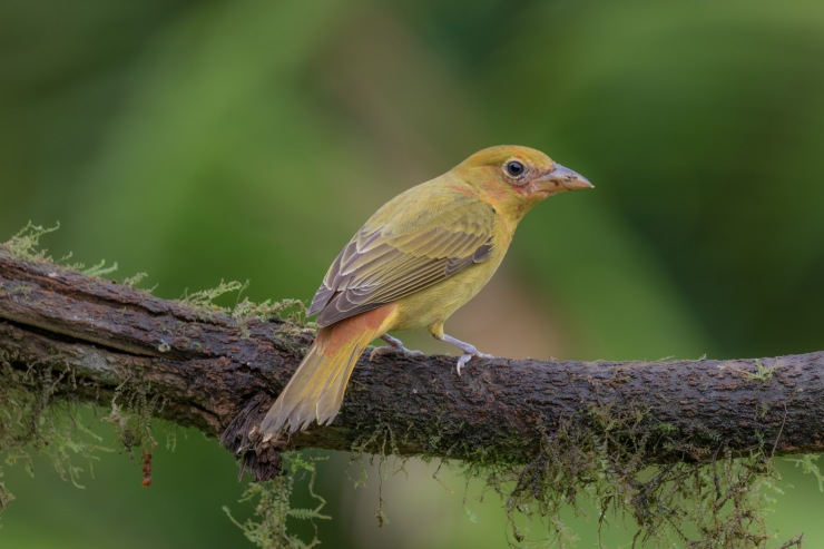 Piranga abejera-Summer Tanager-Piranga rubra BIRDS COLOMBIA